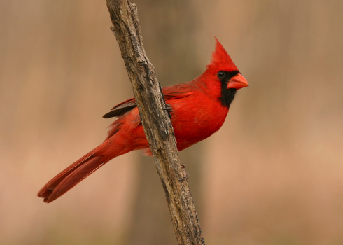 A velvety red male Northern Cardinal.