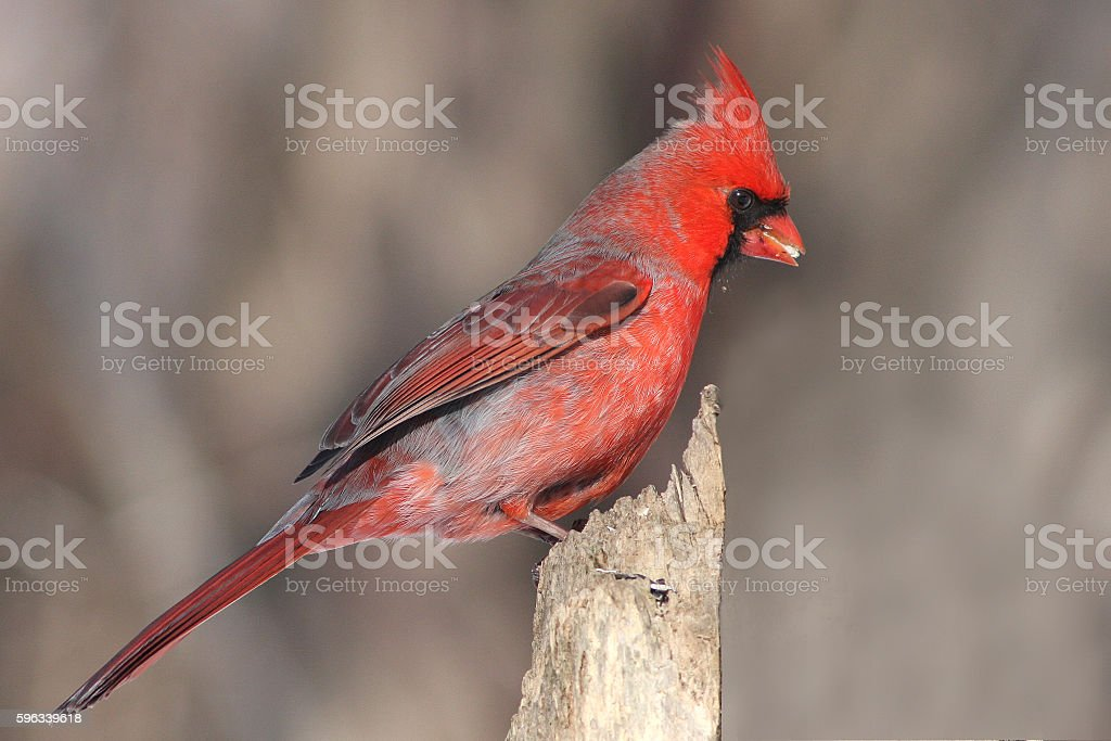 Red Cardinal royalty-free stock photo