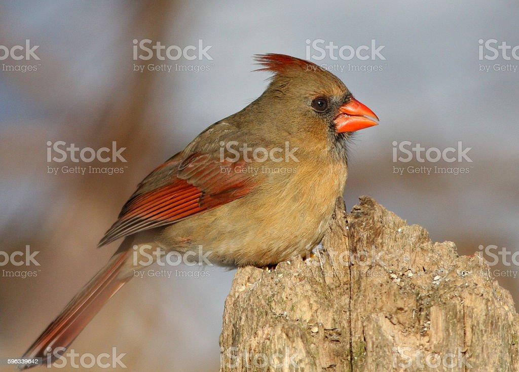 Red Cardinal Lizenzfreies stock-foto