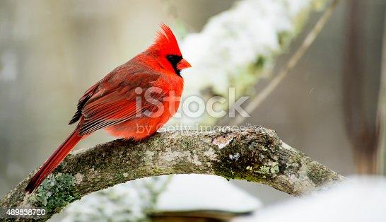 Cardinal, limb, snow