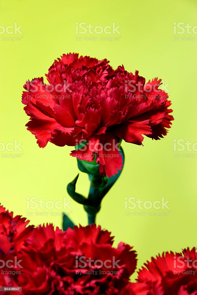 red Carnation bouquet royalty-free stock photo