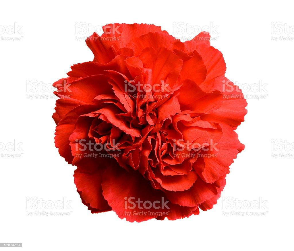 Fleurs de œillet rouge sur blanc photo libre de droits