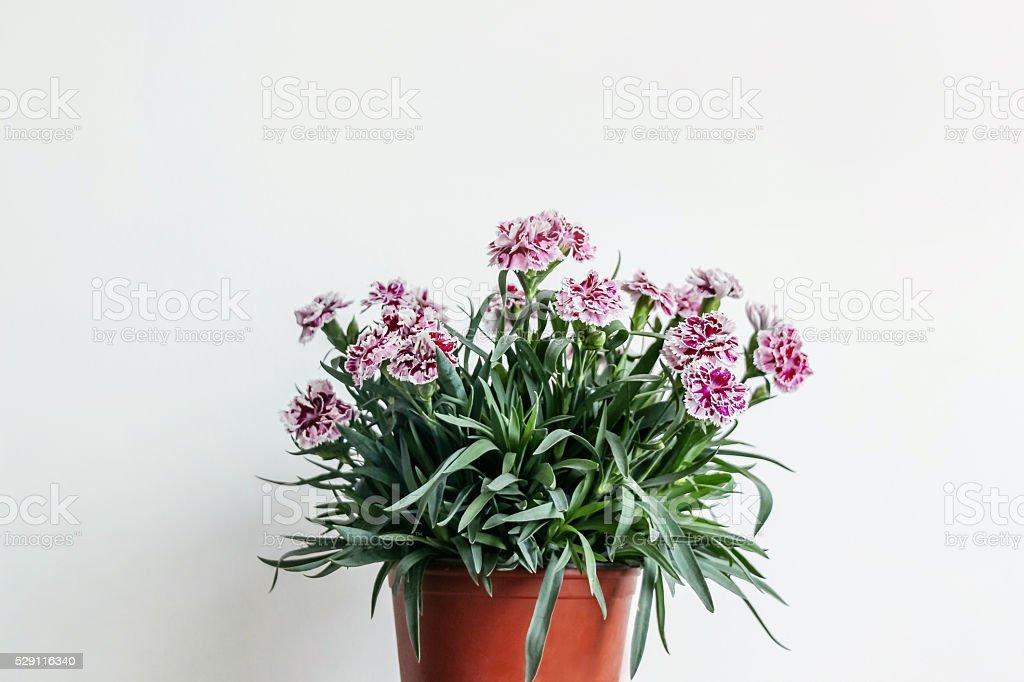 red carnation flowers in orange pot stock photo