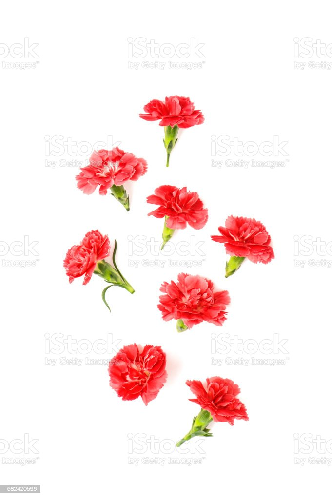 Red carnation flowers isolated white background royalty-free stock photo