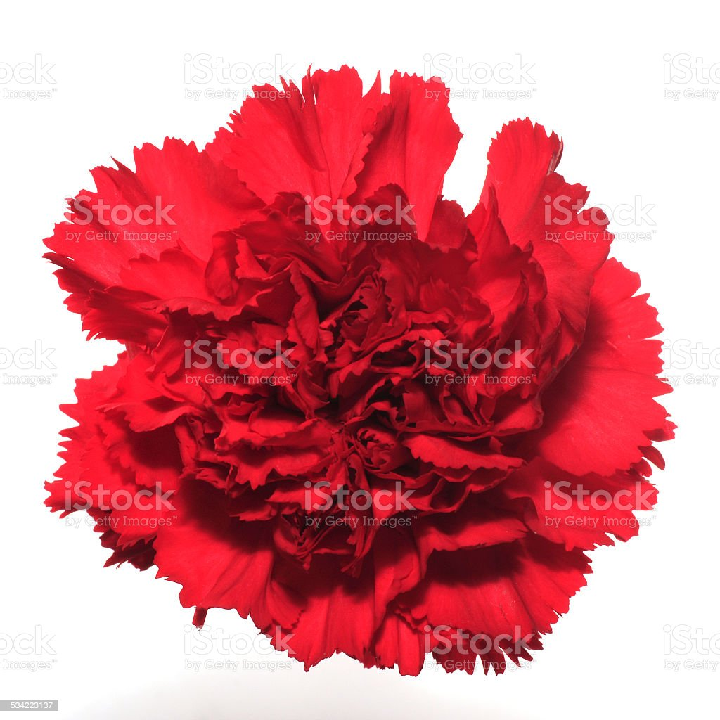 Red Carnation Isolated stock photo