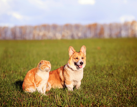 red cat and Corgi dog puppy sit side by side on green grass in Sunny spring day on meadow in village