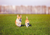 red cat and Corgi dog puppy walk together on green grass on Sunny spring day in the village