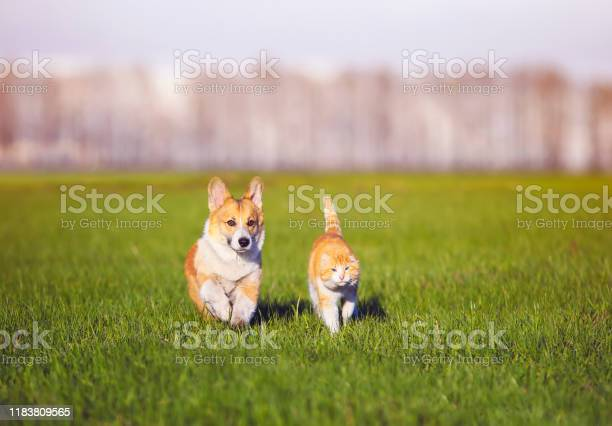 Red cat and corgi dog puppy walk together on green grass on sunny picture id1183809565?b=1&k=6&m=1183809565&s=612x612&h=aq9gdds m1zq88v4bl5yc d fkq9gqcurxzymo 6xeq=