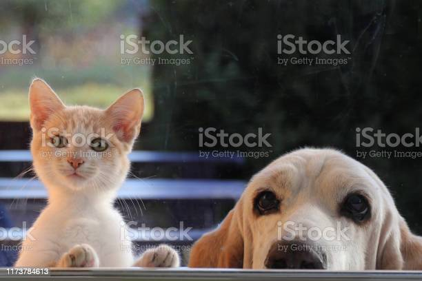 Red cat and dog looking out the window picture id1173784613?b=1&k=6&m=1173784613&s=612x612&h=nv3jjuq6xuhwol0gubnddz1jlotatei9cwykvakkxgi=