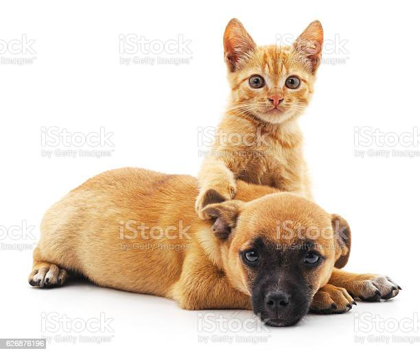 Red cat and puppy picture id626876196?b=1&k=6&m=626876196&s=612x612&h=to3inzrbr4ebg3nfxf6plnvbzsdna92ugt nnaob7go=