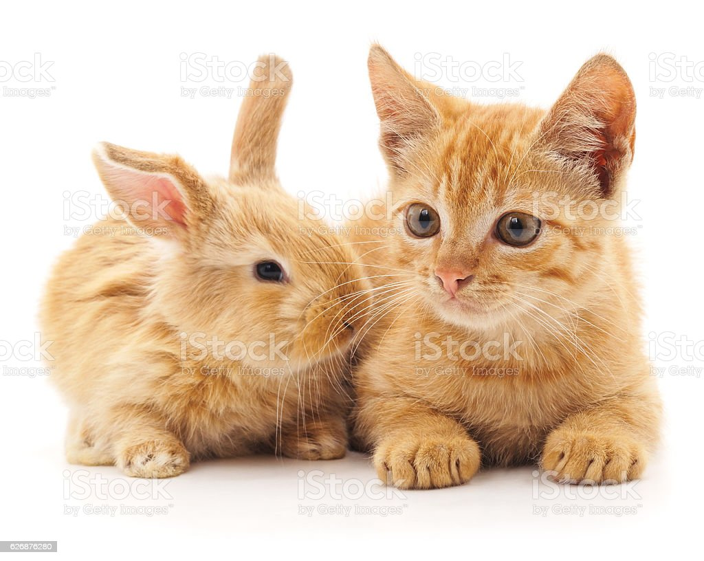 Red cat and rabbit. stock photo