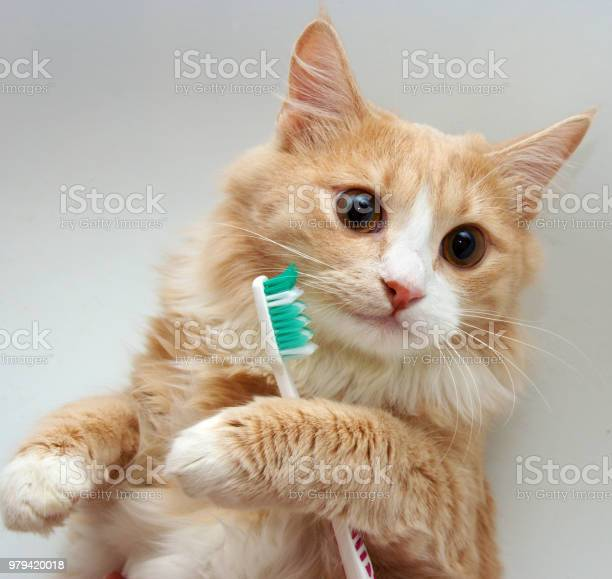 Red cat and toothbrush picture id979420018?b=1&k=6&m=979420018&s=612x612&h=q4nospf6qcr uohs8ciztlif 6weedqagfzhzdeyeeg=