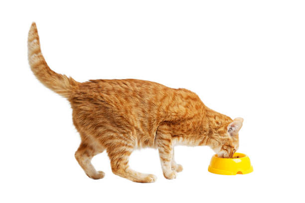 Red cat eats his food from a yellow bowl isolated on white picture id1200480006?b=1&k=6&m=1200480006&s=612x612&w=0&h=dfjnk7u9zvigpbkrvd7hxqwhhwkkwm7d0zj0kt4qqji=