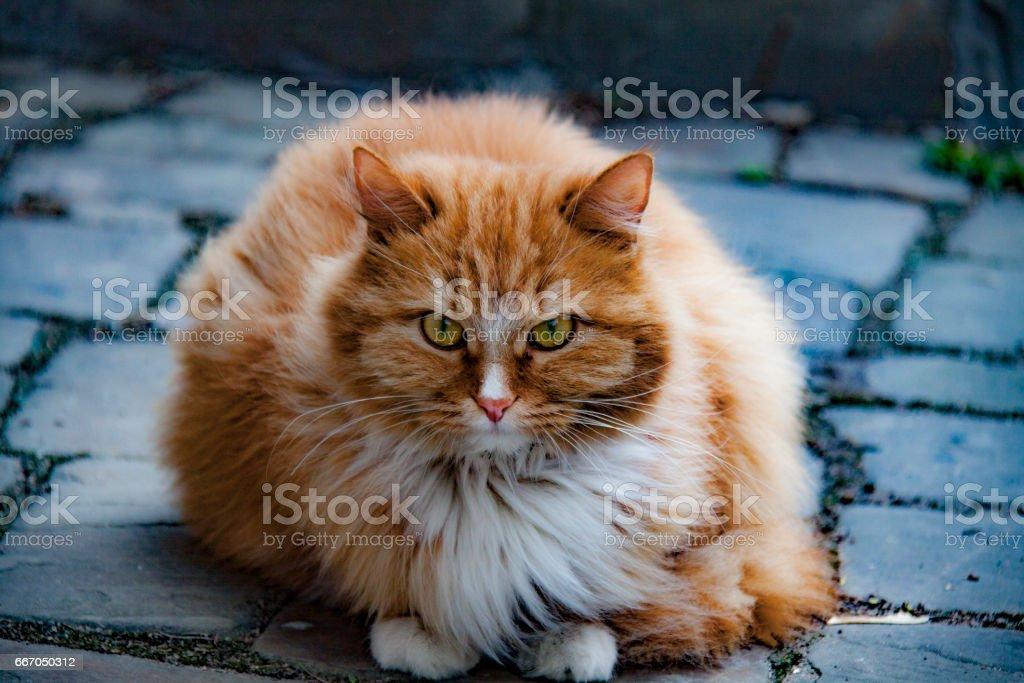 Red cat in Krutitsi stock photo