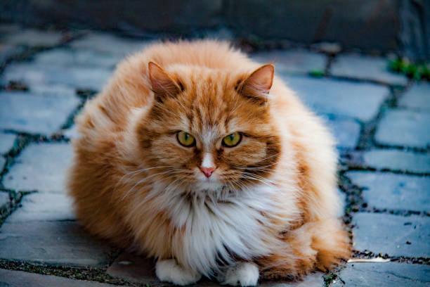 red cat in krutitsi - batalina cats стоковые фото и изображения