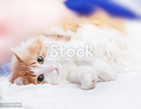 Pretty adult red cat is lying looking at camera