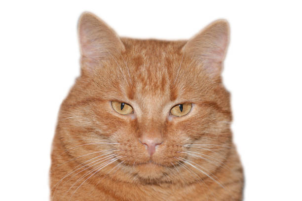 Red cat isolated on white background, clipping path