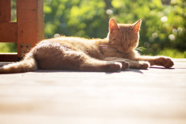 red cat lying and resting outside on terrace stock photo