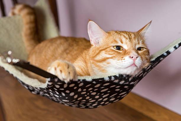 Red cat lying in a hammock picture id476678614?b=1&k=6&m=476678614&s=612x612&w=0&h=t8dusab3536ajhi5janxq6blxze1vh51rseayla1s7e=