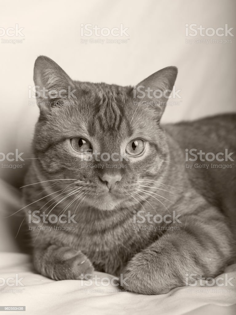 Red cat lying on white background, smart piercing look - Royalty-free Animal Stock Photo