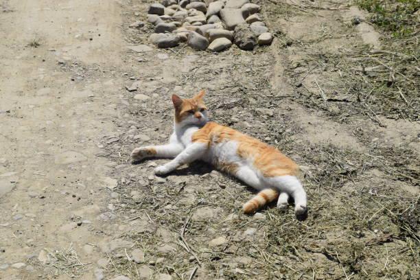 Red cat on a dirt road picture id1148906000?b=1&k=6&m=1148906000&s=612x612&w=0&h=ecwwwuhvbtoodutk vj47f 2ftsotz f92uikynuaqy=