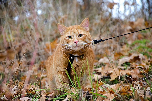 red cat on a leash sits at the autumn grass - cat leash stock photos and pictures