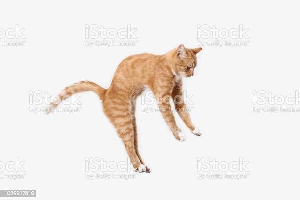 Red cat on a white background picture id1039917516?b=1&k=6&m=1039917516&s=612x612&h=bqmn3lxxeqmvkfbi8s2bdj qifh6hocw j0ysxqvsou=
