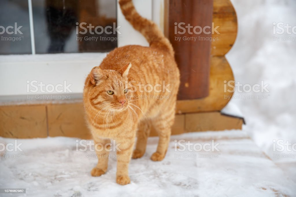 Red cat on the porch asks to go home. Ginger cat sitting outside a...