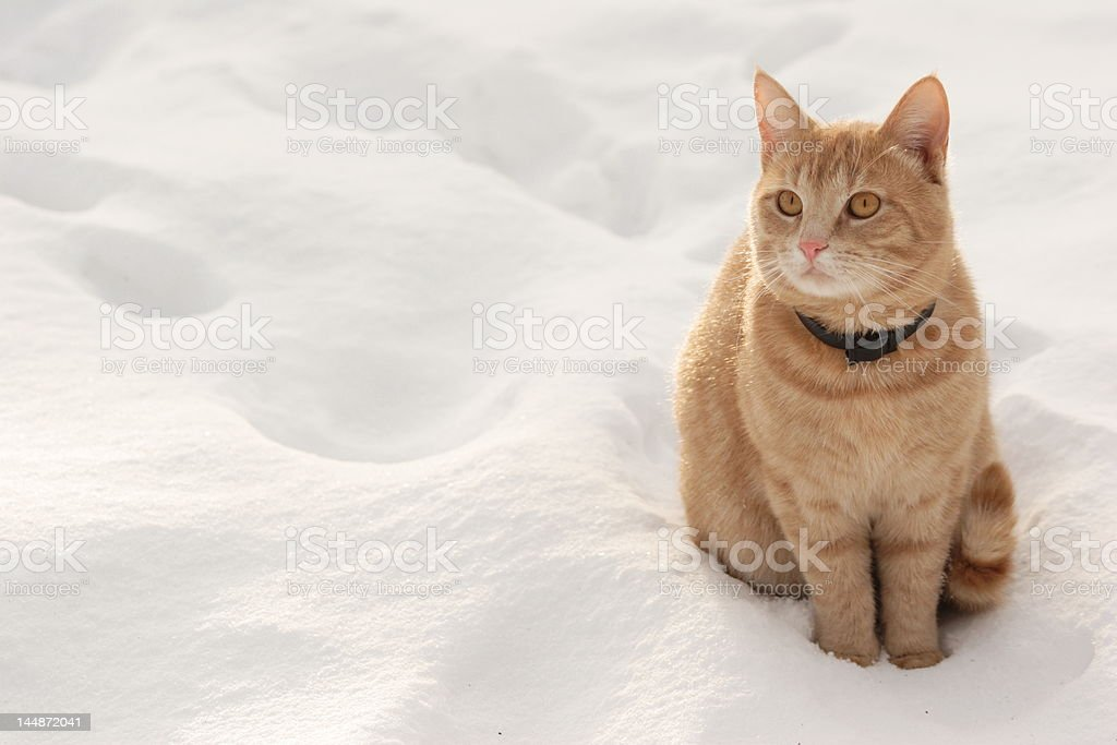 Red cat on the snow stock photo