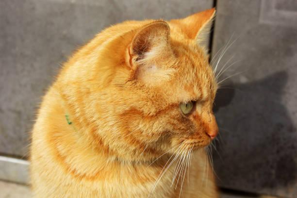 Red cat on the street picture id1170697447?b=1&k=6&m=1170697447&s=612x612&w=0&h=irsypzmwlv2lc 4lm4gq2lagaqrquiol 6jmnlqwnoe=