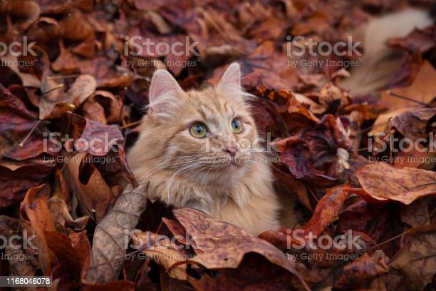 Red cat picture id1168046078?b=1&k=6&m=1168046078&s=612x612&h=3s8grvqkgwrnis6goh4xrotnck xc udvquv4proany=