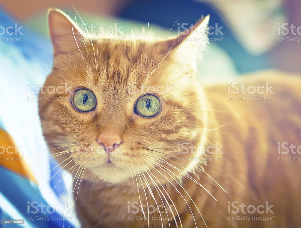 Red cat. royalty-free stock photo