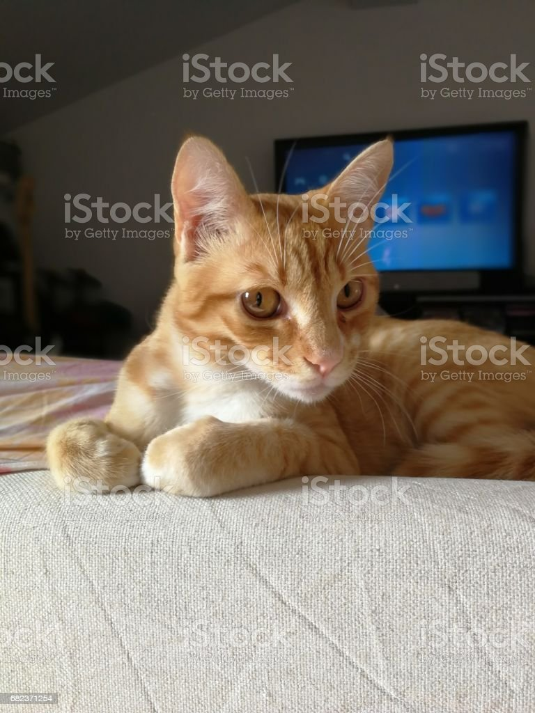red cat foto stock royalty-free