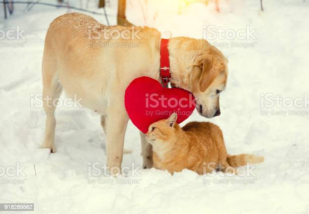 Red cat rubs against labrador dog in the street in the winter day picture id918289562?b=1&k=6&m=918289562&s=612x612&h=qmpxrmeqjp wppo9o2p9zrsfl cybovpugfxe7akvie=
