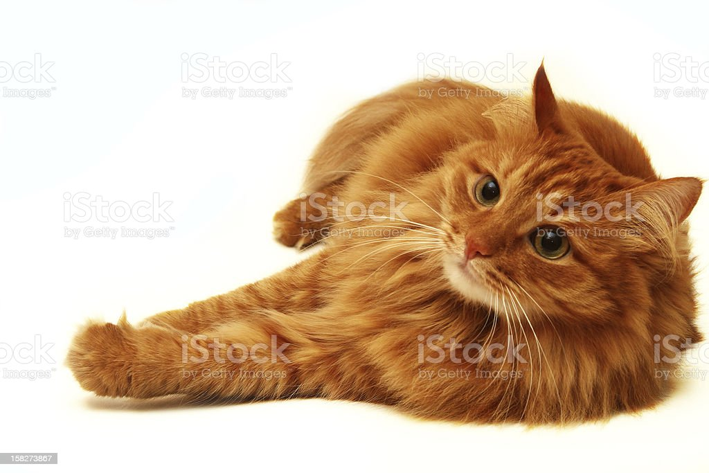 red cat shot on a white background stock photo