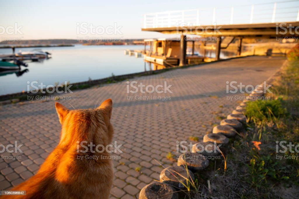 Red cat sitting and waiting on the pier at autumn sunset stock photo