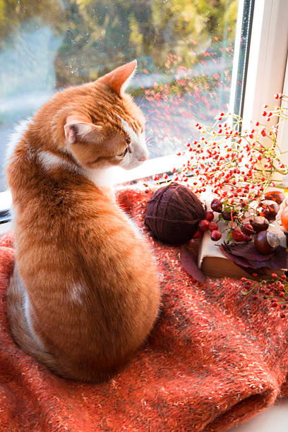 Red cat sitting on a windowsill looking on the garden. Autumn cat stock photo