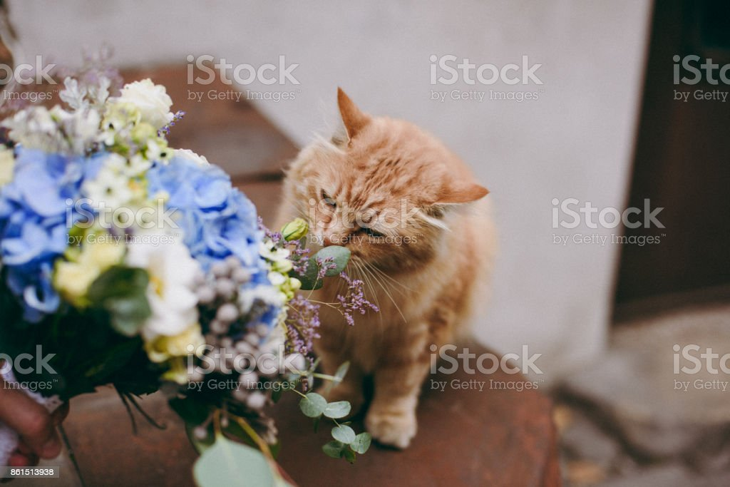 Red cat sniffs a bouquet of the bride stock photo