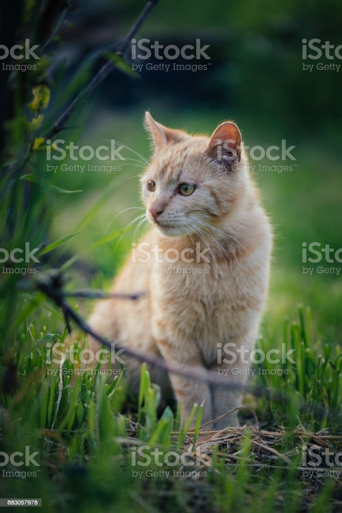 Red cat standing in grass. Cute cat in garden. foto de stock royalty-free