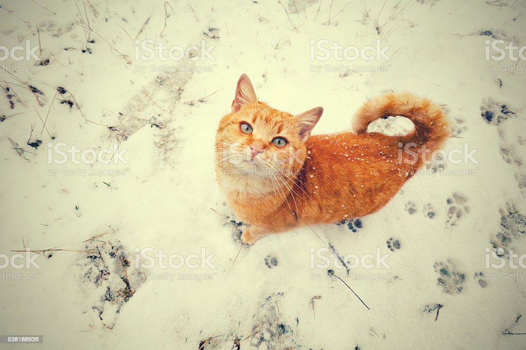 Red cat walking on the snow and looking up stock photo
