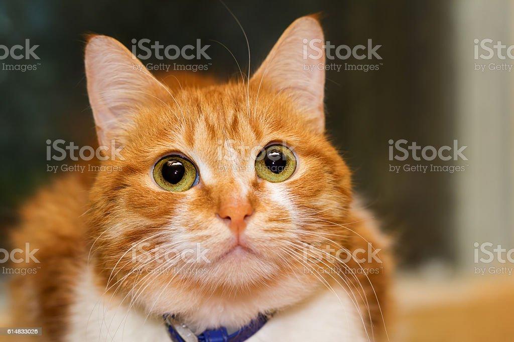 Red cat watching stock photo