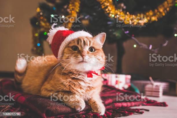 Red cat wears santas hat under christmas tree christmas and new year picture id1068012760?b=1&k=6&m=1068012760&s=612x612&h=0qoeynprvrf9aumzfxangxmj toxbd67arvmaxtt1pm=