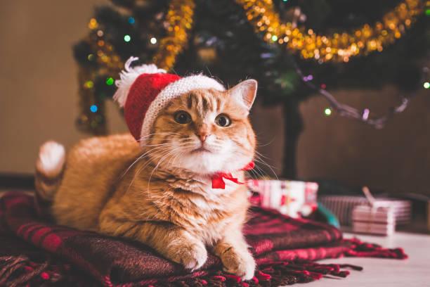 rote katze trägt weihnachtsmütze weihnachtsbaum. weihnachten und neujahr konzept - katze weihnachten stock-fotos und bilder
