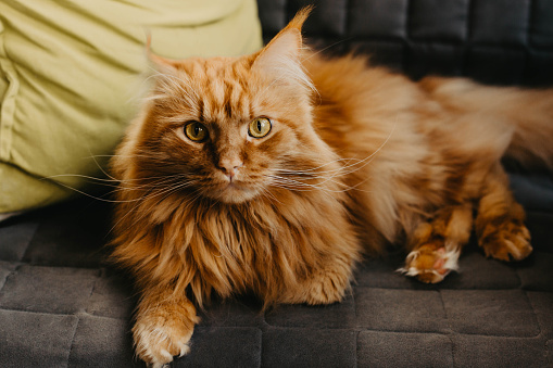 Red cat with green eyes in the home interior.