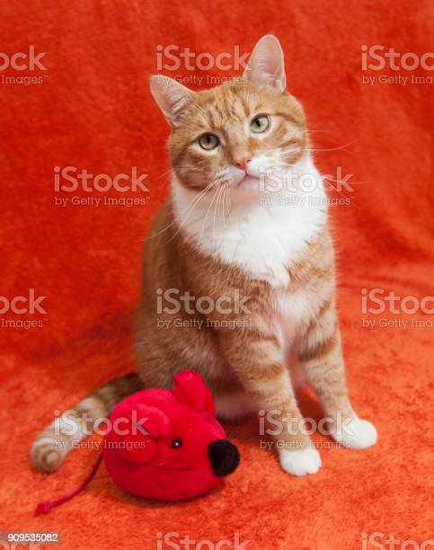 Red cat with plush toy mouse picture id909535082?b=1&k=6&m=909535082&s=612x612&h=3ohhdzddyrjmkg2coli udhwntlwap3zwd9fg03mm5c=