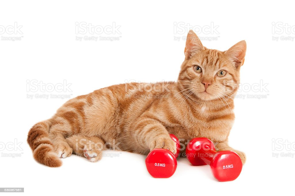 Red cat with two dumbbells stock photo