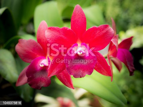 The Red Cattleya Orchid Flowers Blooming in The Garden