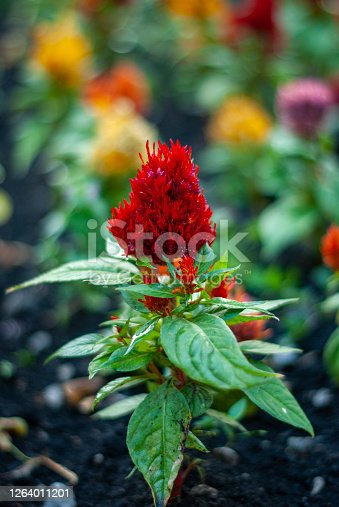 Red celosia flower blossoming in a city flowerbed. Celosia argentea var. plumosa
