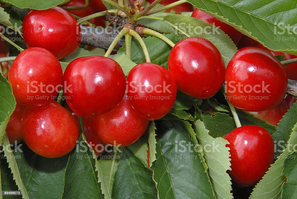 Red cherries at the tree royalty-free stock photo