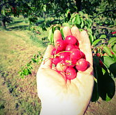 red cherries just harvested from the tree in spring on the hand with old toned effect